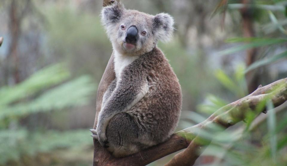 În Australia, urșii koala salvați în urma incendiilor sunt  eliberați în pădurile de eucalipt(Video)
