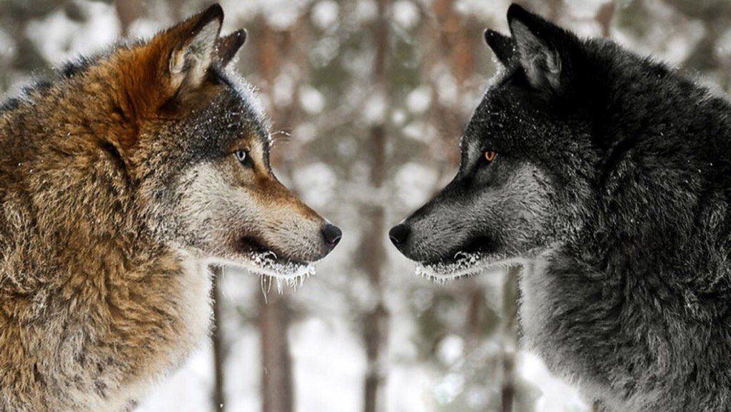 Lupii pot analiza acțiunile oamenilor și a câinilor