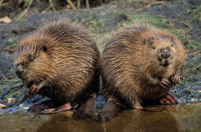Climatologii germani au enumerat animalele care ajută  încălzirii globale să topească gheața Arcticii