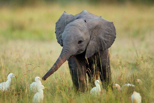 În Africa s-au înregistrat decese în masă a elefanților în circumstanțe misterioase