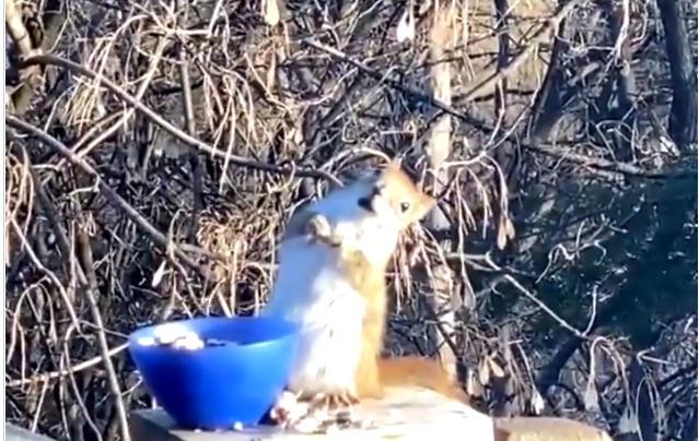 Veveriță amețită după ce a consumat  fructe fermentate(VIDEO)
